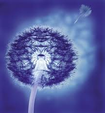 A beautiful Blue image of a Dandelion Seed Clock