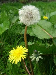 The Dandelion with its precious Seed Clock.