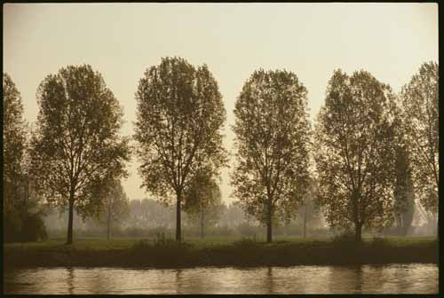 Poplar trees in a row by the stream