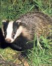 Irma the younger of the two orphaned badgers